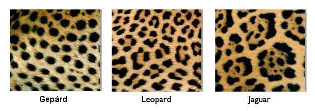 gepárd leopárd jaguár összehasonlítás